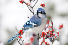 Gallery print  Blue jay on winter berry branch - Richard and Susan Day