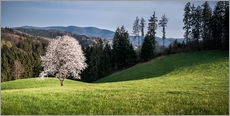 Gallery Print  Blooming Apple Tree in Black Forest - Andreas Wonisch