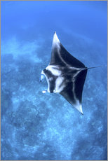 A large reef manta ray swims through clear water in Raja Ampat.