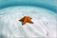 A West Indian starfish on the seafloor in Turneffe Atoll, Belize.