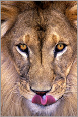 Portrait of African lion with tongue out