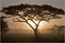 Acacia at sunrise in the morning mist