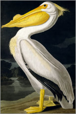 American White Pelican, from 'Birds of America', engraved by Robert Havell published 1836