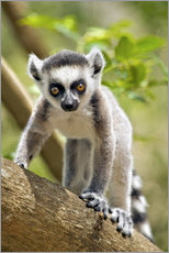 Baby ring-tailed lemur (lemur catta) in the Anja private community reserve near Ambalavao in souther