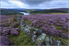 Heather covered Bamford Moor and dry stone wall