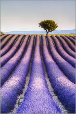 Tree in a lavender field, Provence
