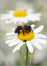 Bee on the camomile lawn