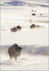 Bison herd in the snow