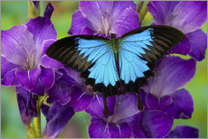 Blue butterfly on purple flowers