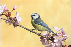 Blue tit on a branch of cherry