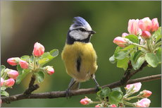 Blue Tit on apple blossoms