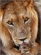 View of the lion - Africa wildlife