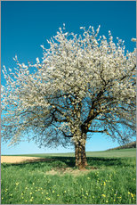 Blossoming cherry tree in spring on green field with blue sky