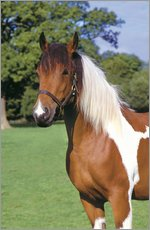Brown and white piebald horse