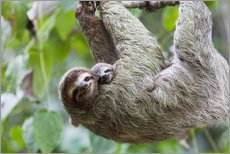 Brown-throated Sloth and her baby