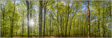 Beech forst in spring time panorama