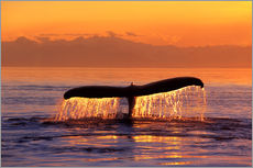 Humpback whale in the evening
