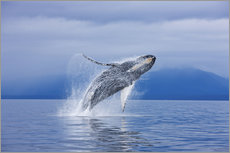 Humpback whales off Iceland Chichagof
