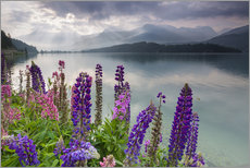 Multi colored lupins frame the calm water of Lake Sils