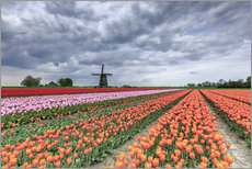 Multicolored tulips and windmill