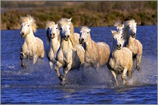 Camargue horses galloping through wetlands