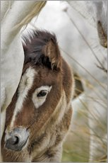 Camargue horse foal, southern France