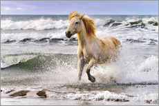 A Camargue horse running in the surf