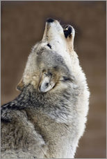 A gray wolf howling at