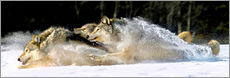 A pack of grey wolves in deep snow