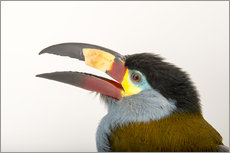 A plate billed mountain toucan