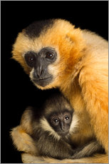 A female Northern white cheecked gibbon with her year old baby