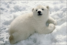 Young polar bear in the snow