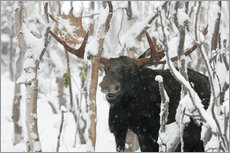 Elk sniffing in a winter forest