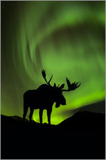 Moose silhouetted against the Northern Lights