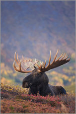 Bull Moose in Chugach State Park