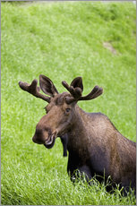 Bull Moose in the Grass