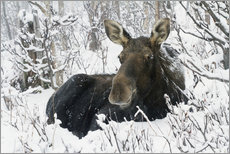 Cow elk in a winter forest