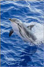 Adult striped dolphin