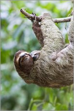 Sloth with baby on branch