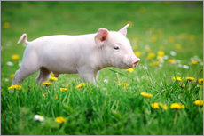 Piglets on a spring meadow