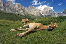 Peacefully sleeping Haflinger foal on a mountain meadow