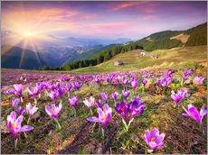 Crocuses and the sun in spring