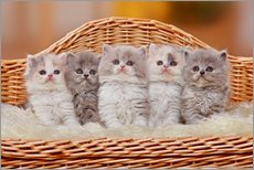 Five British Longhair kittens
