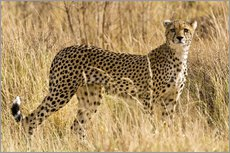 Cheetah stands between dry grasses