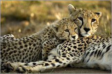 Cheetah cub clings to his mother
