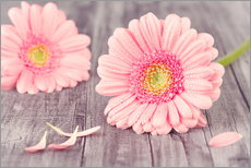 Gerbera flower bloom