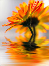 Gerbera water melody