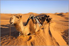 Saddled camels in the desert