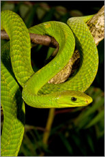 East African Green Mamba