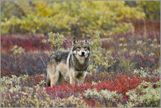Gray Wolf in the tundra